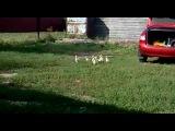 Как строить гусей